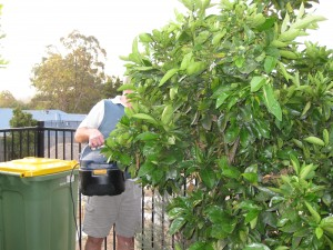 Vacuuming orange tree