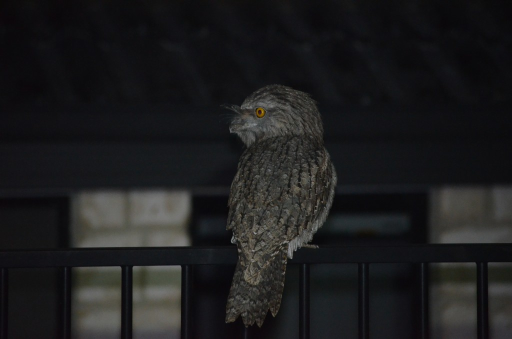 Tawny Frogmouth on fence